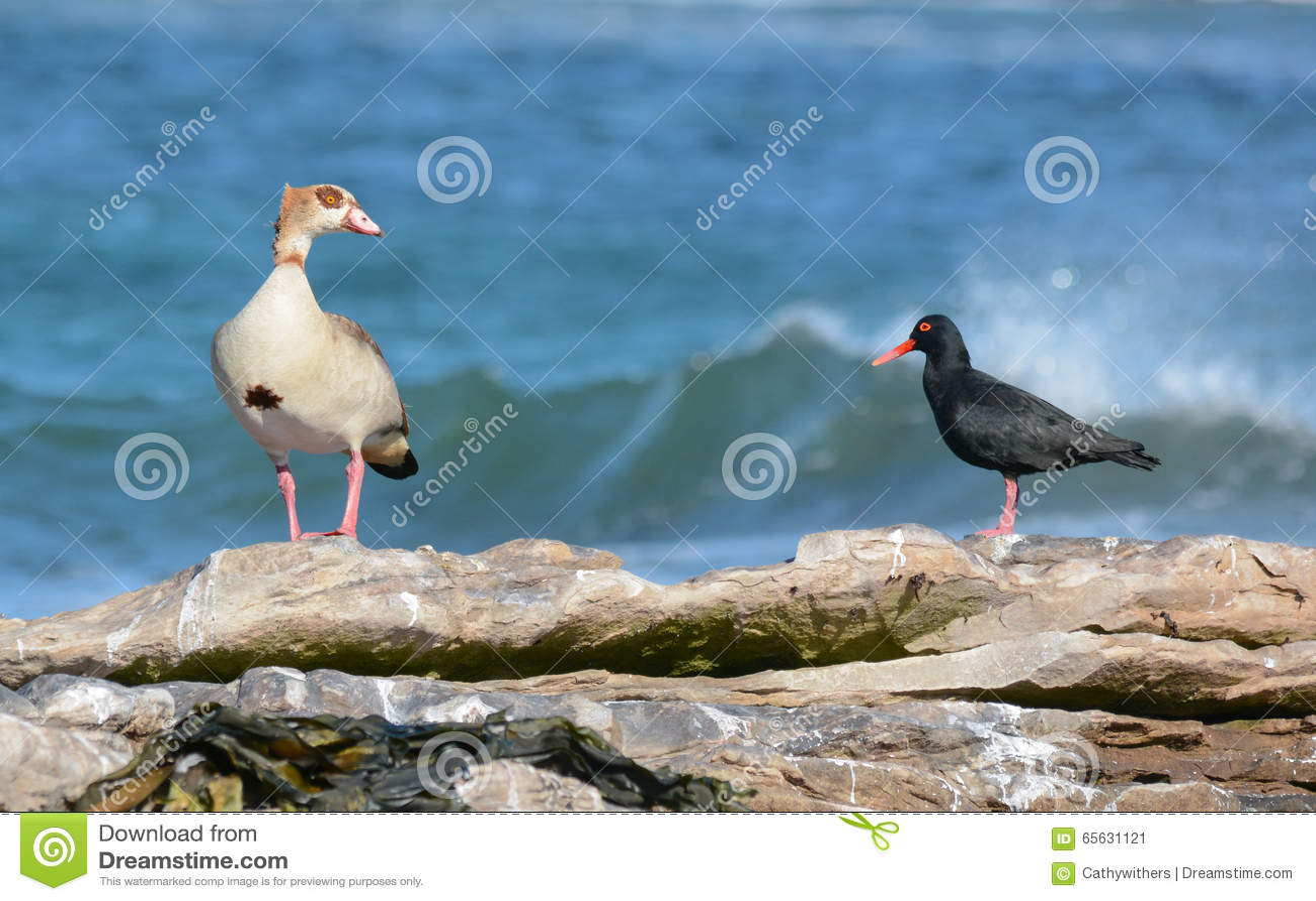 Oie égyptienne et huîtrier noir africain