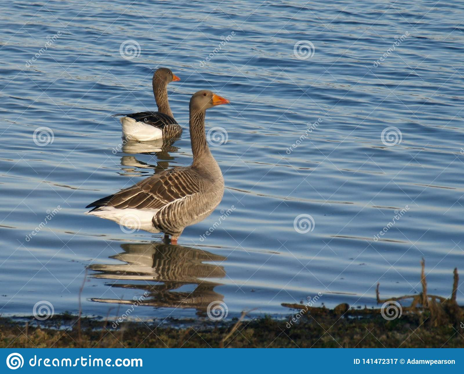 Oie cendrée, Anser d Anser, rivage se tenant prêt de lac