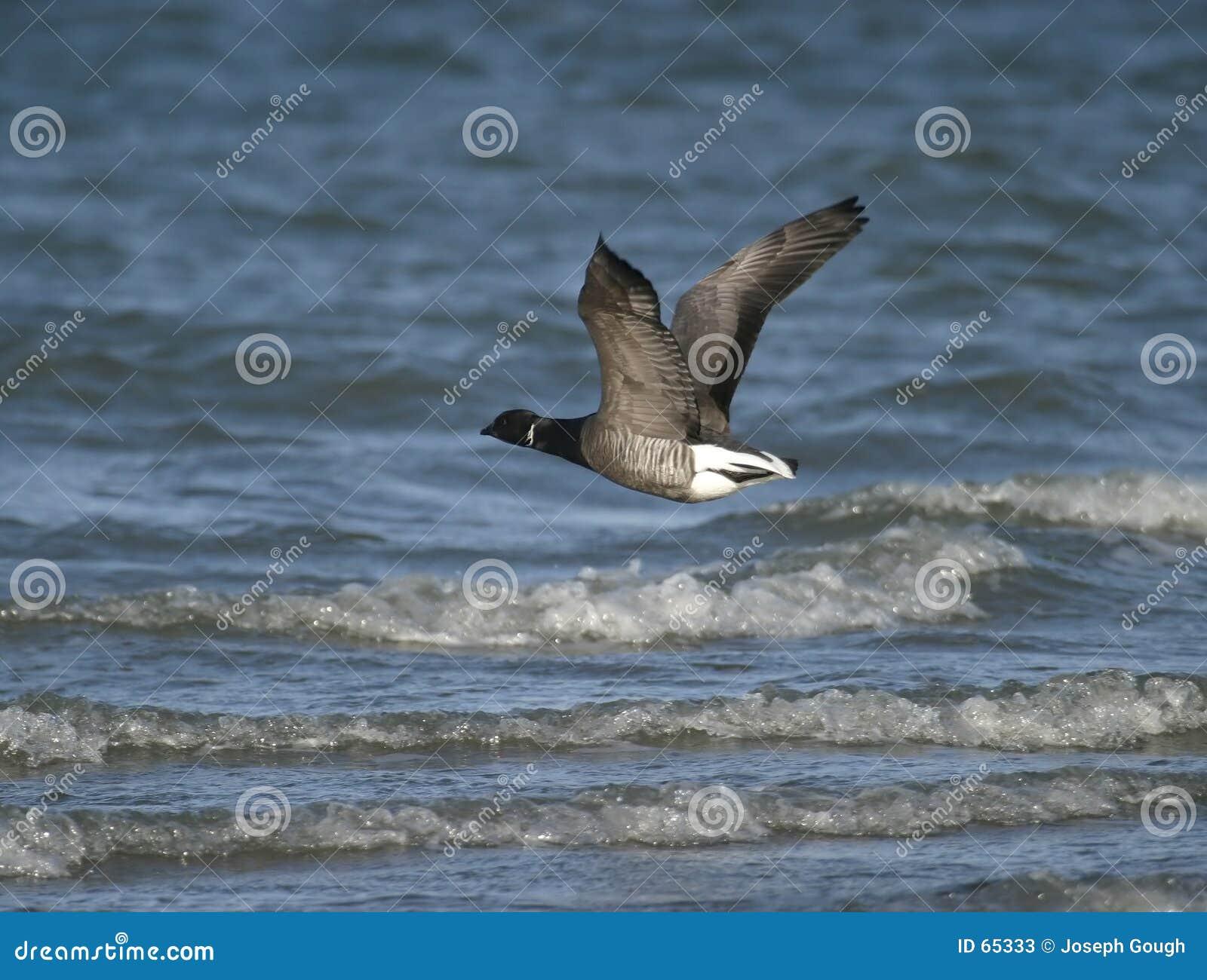 Download Oie de Brent image stock. Image du aile, mouche, rivage - 65333
