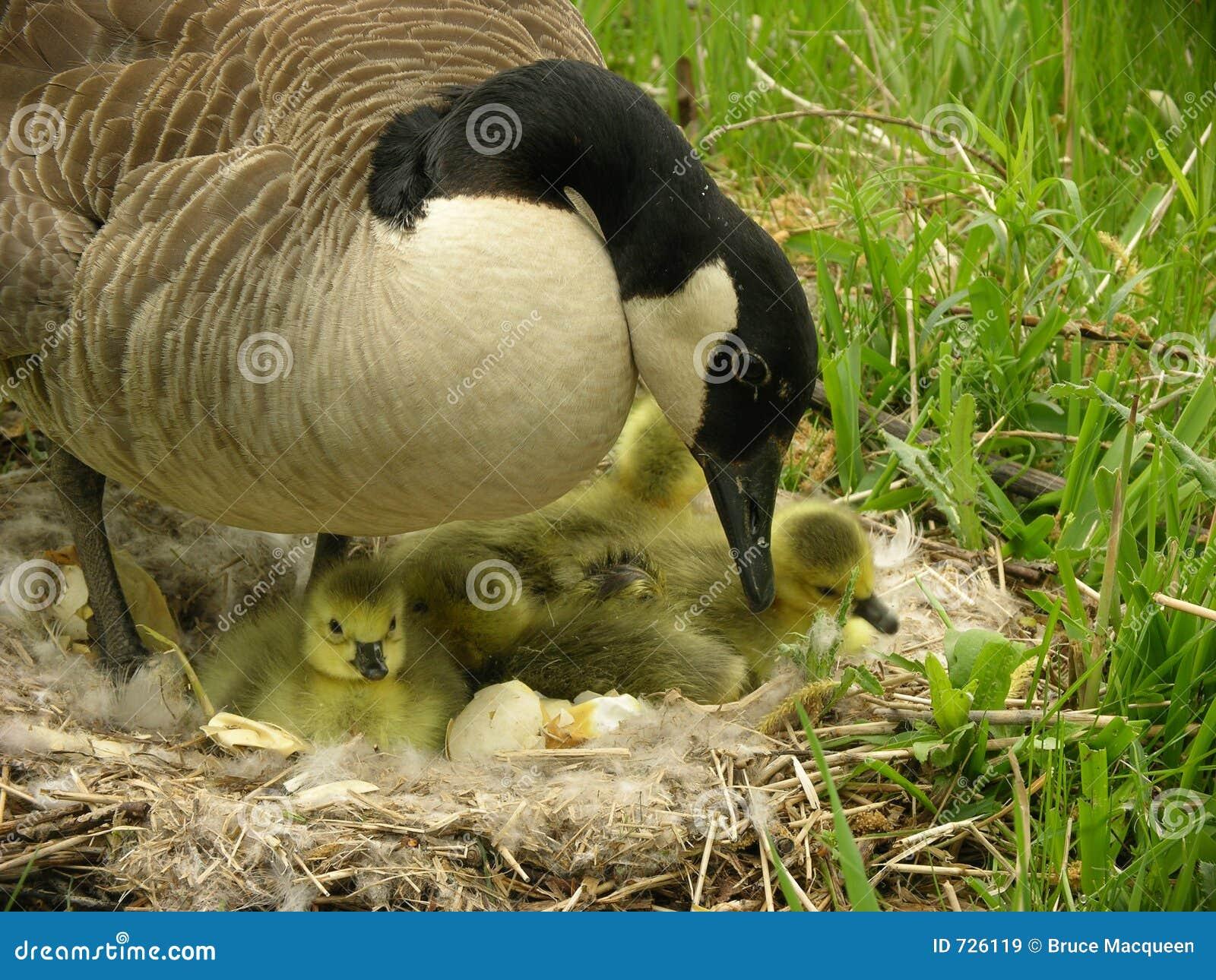 Oie de mère