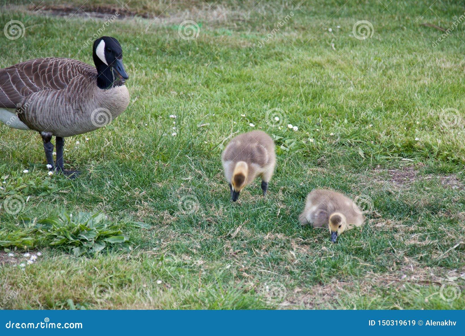 Oie de mère avec deux oisons sur l herbe verte en parc