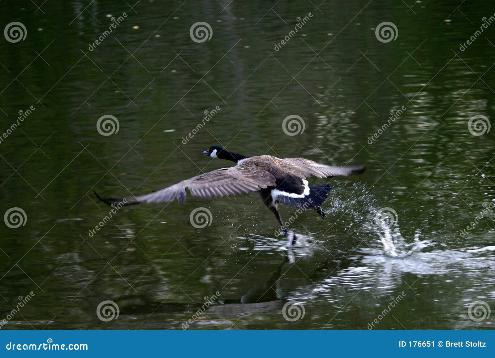 Oie en vol