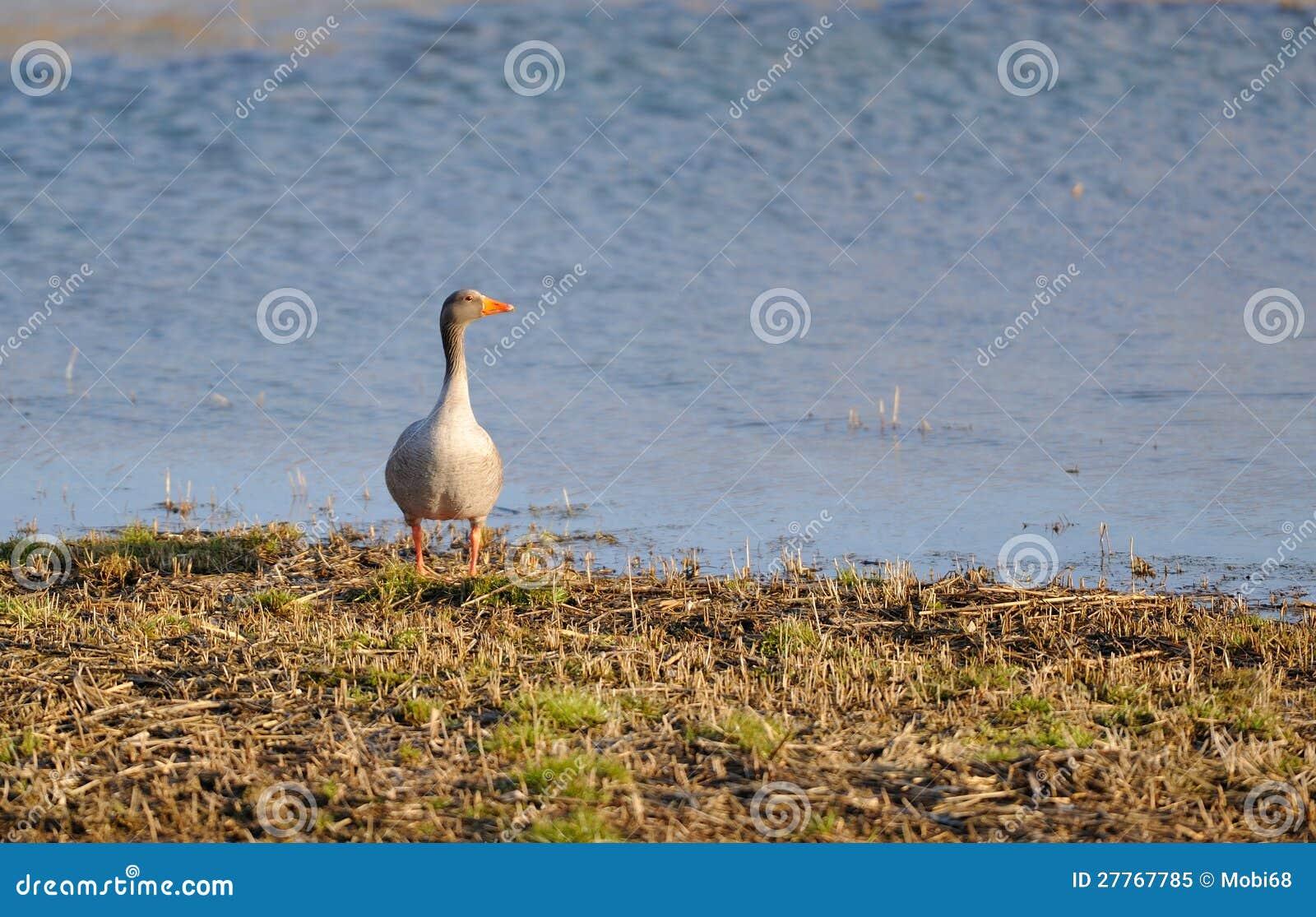 Oie grise sur le rivage