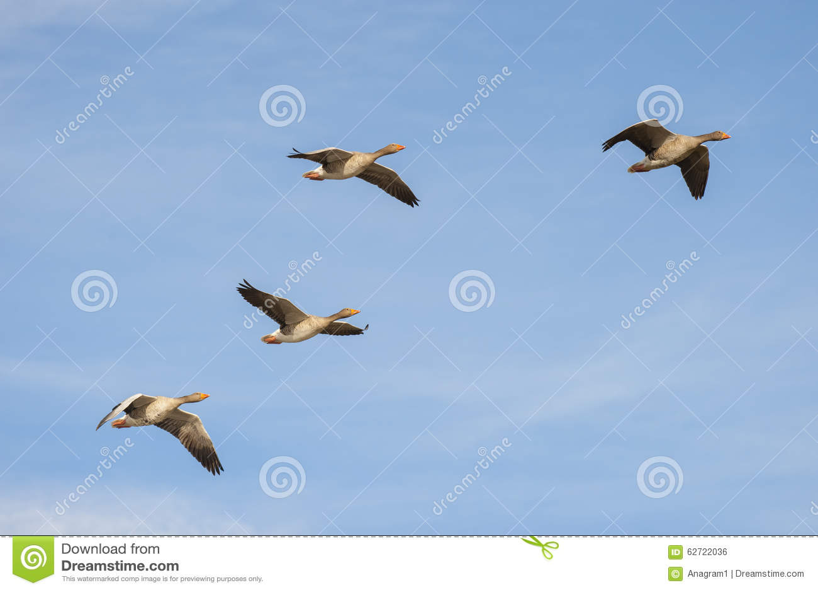 Oies cendrées en vol
