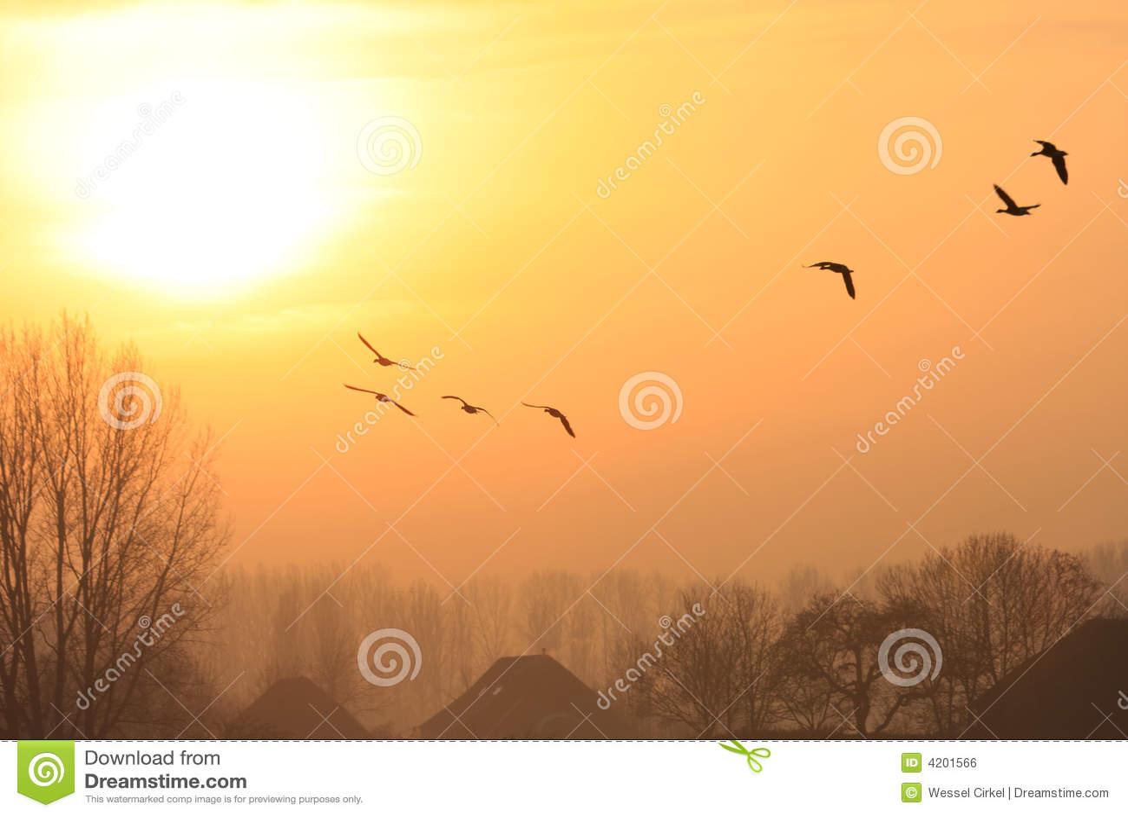 Oies de vol pendant le coucher du soleil