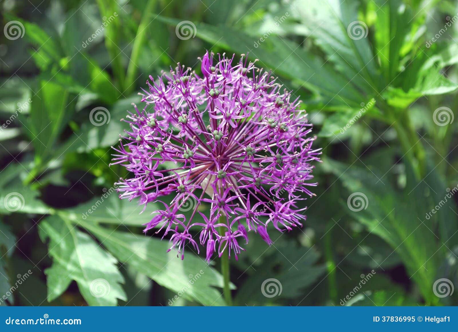 oignon rose lumineux de fleur photo libre de droits image 37836995. Black Bedroom Furniture Sets. Home Design Ideas