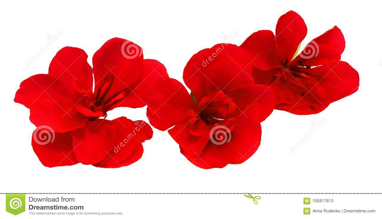 Geranium flowers in the shape of roses fresh, photo manipulation