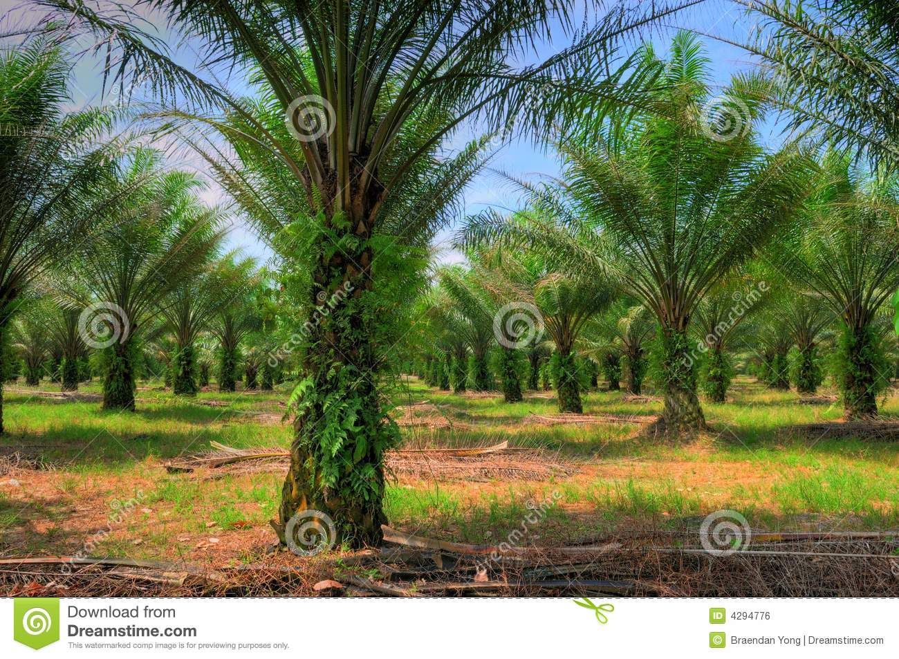 Oil Palm Cultivation