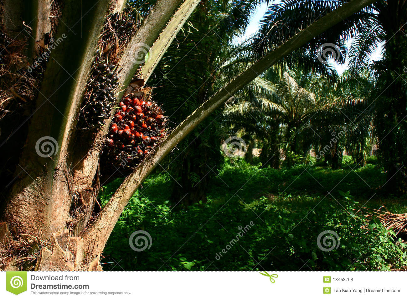 oil palm fruit on palm tree stock photo image of estate