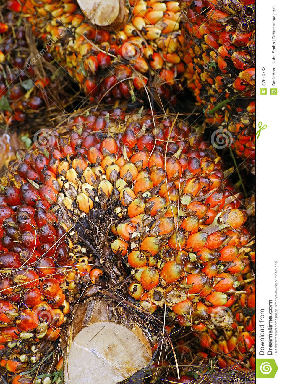 Oil Palm Fruits stock photo  Image of importers, crude - 42660732