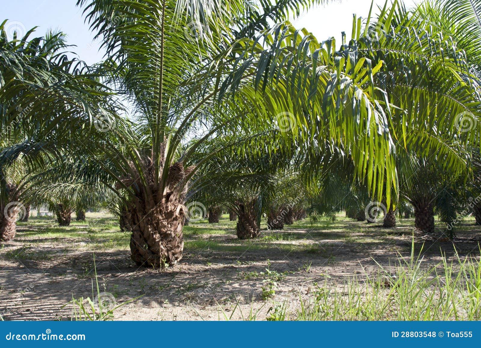 palm oil plantation business plan
