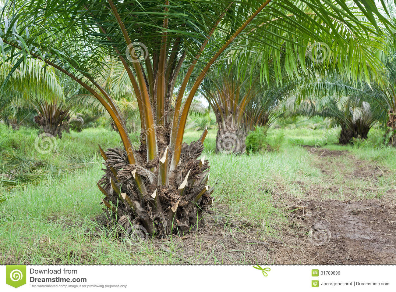 Oil Palm Plantation Royalty Free Stock Image - Image: 31709896