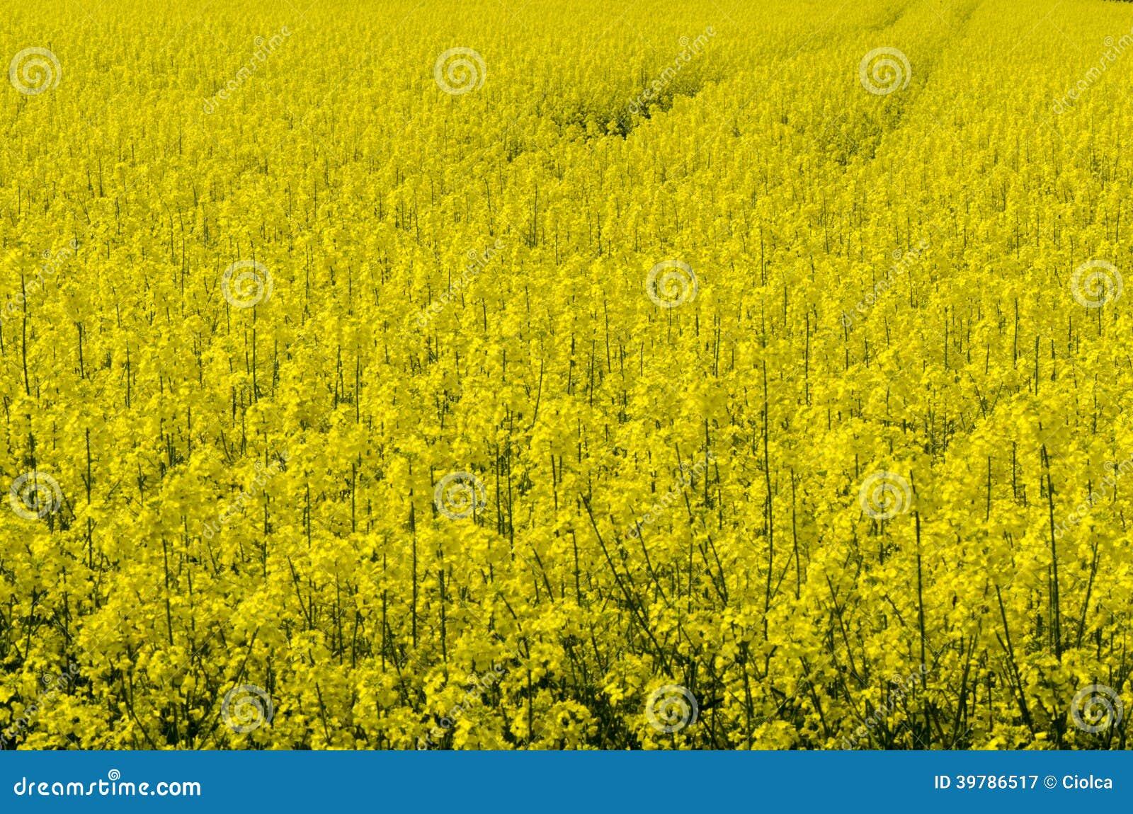 Oil seed field