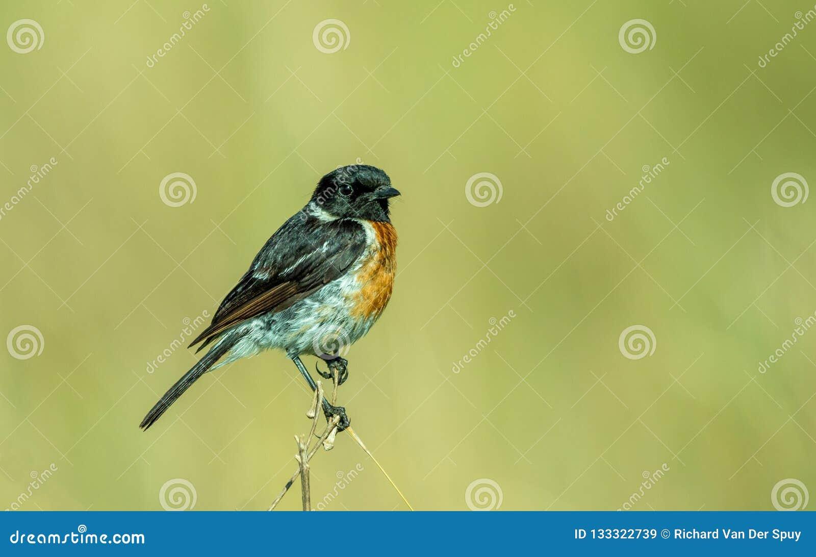 Oiseau africain de traquet dans l extérieur sauvage