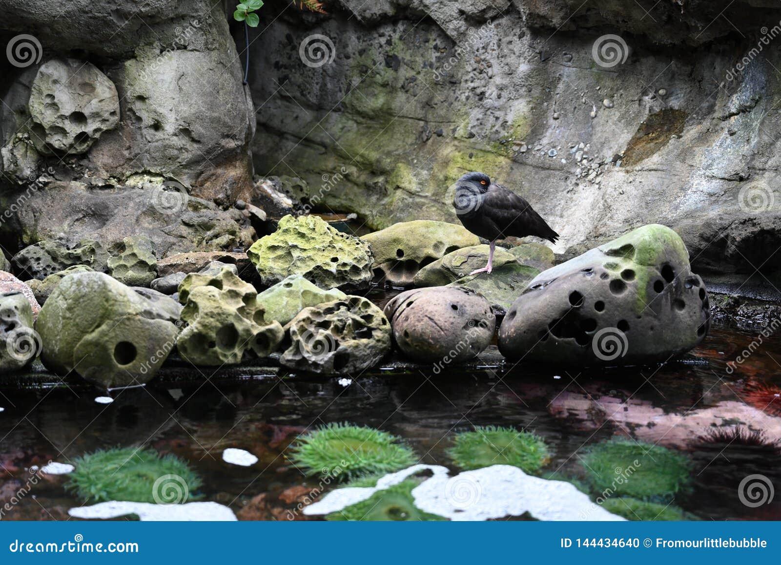 Oiseau aquatique sur la roche pr?s du tidepool