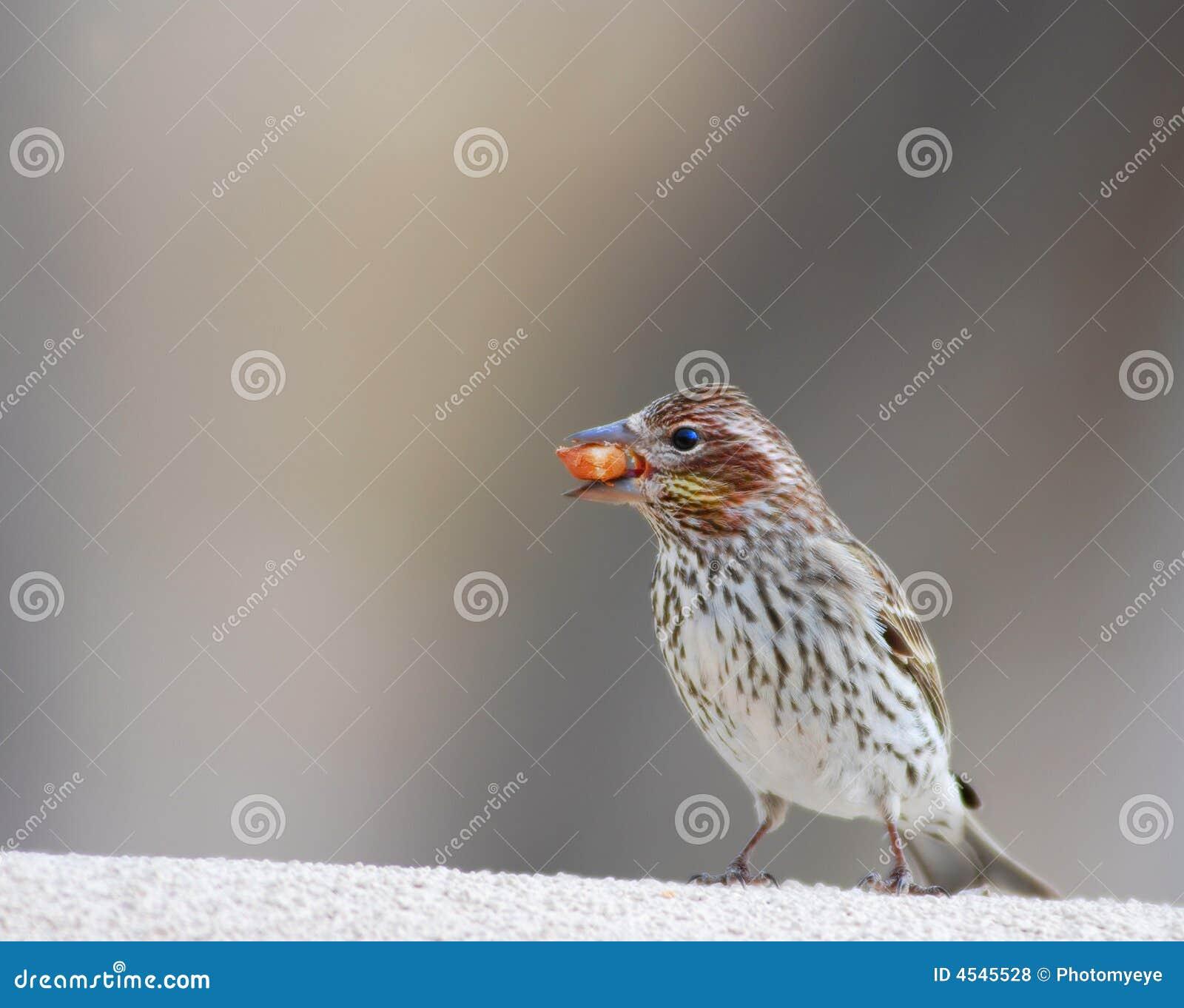 Oiseau avec la graine dans la bouche photo stock image - Graine de piment oiseau ...