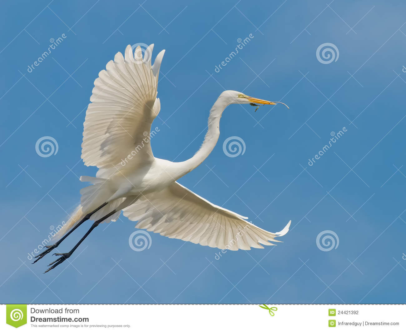 Oiseau blanc de h ron en vol photo stock image 24421392 for Oiseau tout blanc