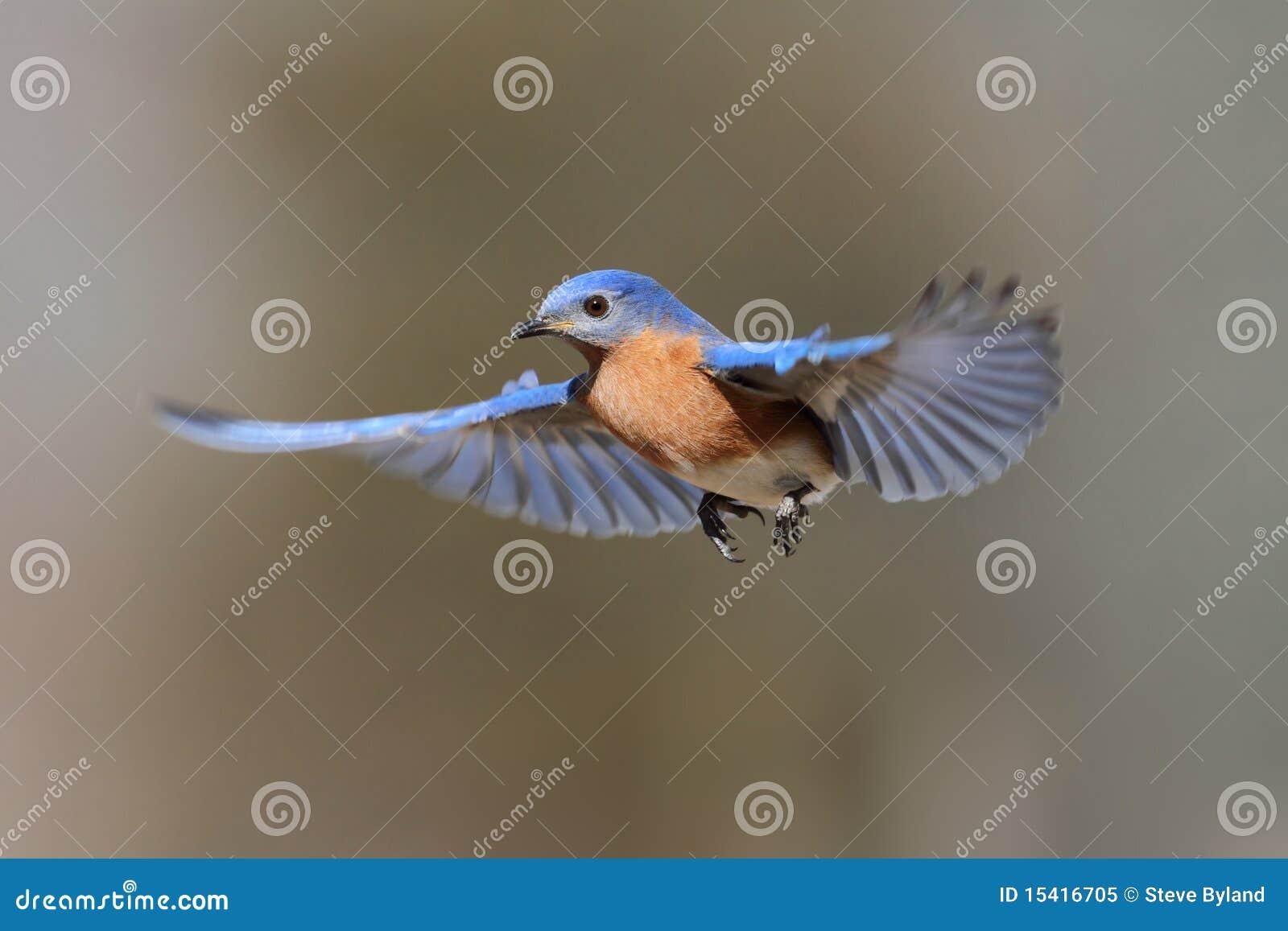 Oiseau bleu en vol photo libre de droits image 15416705 for Photo oiseau