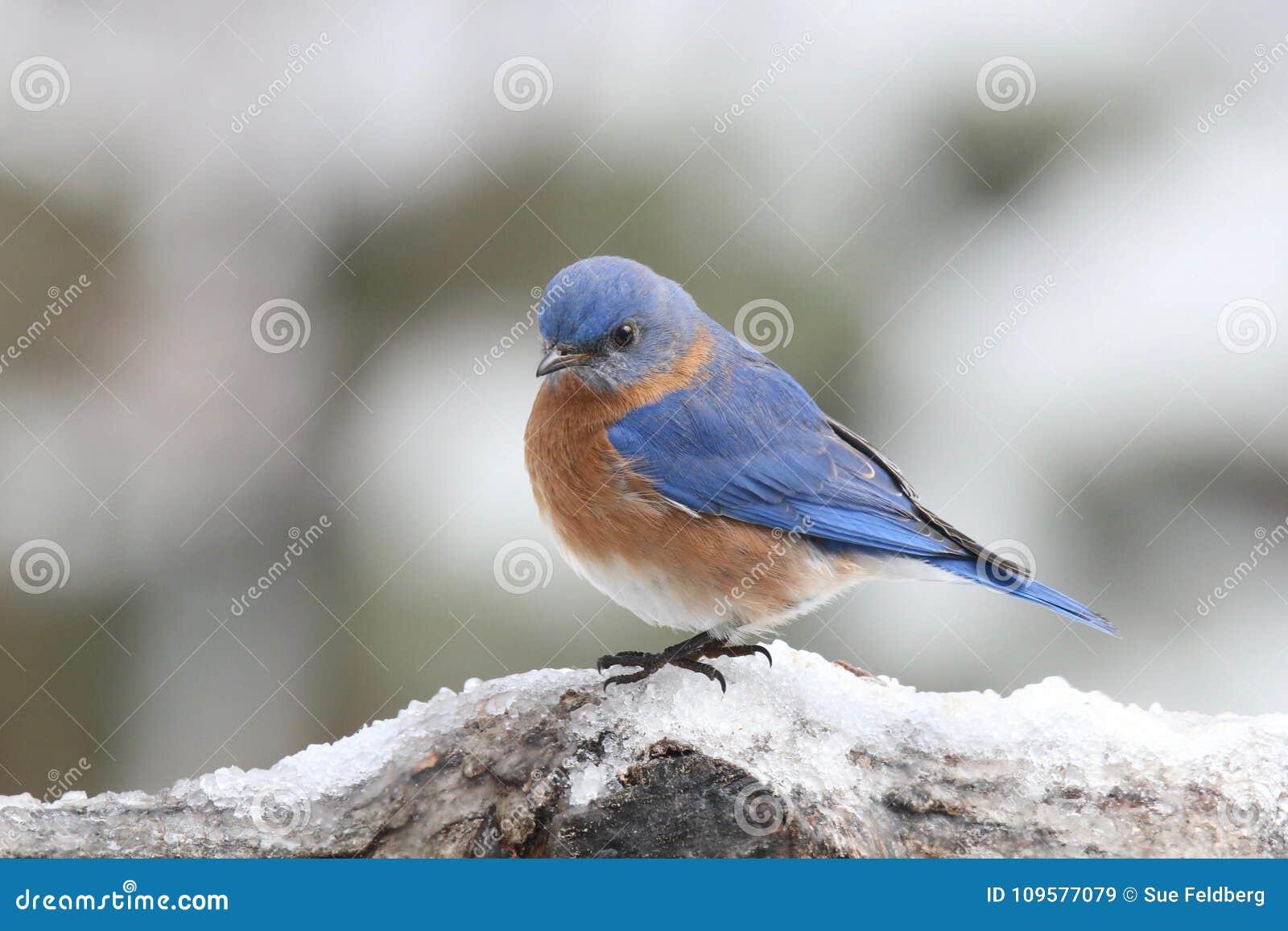 Oiseau bleu oriental d hiver