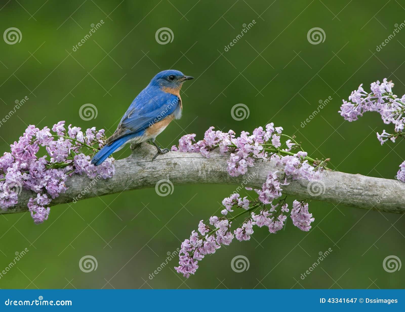 Oiseau bleu sur des lilas