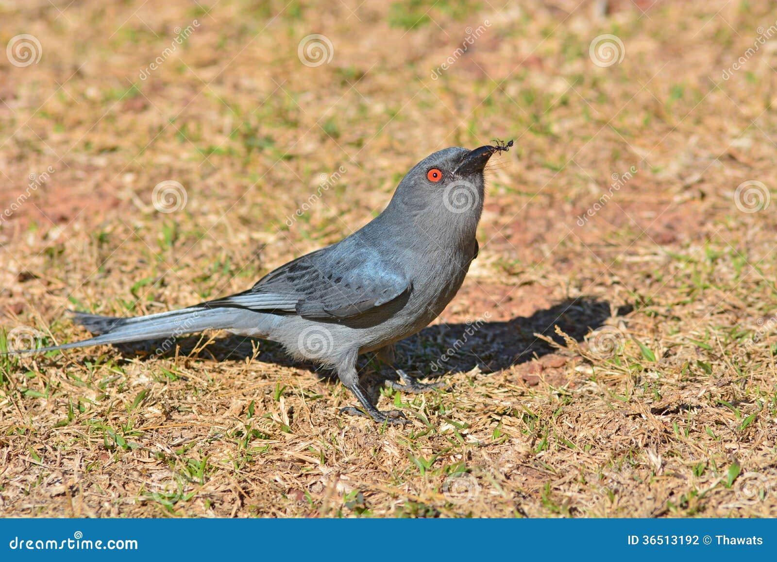 Oiseau cendré de drongo