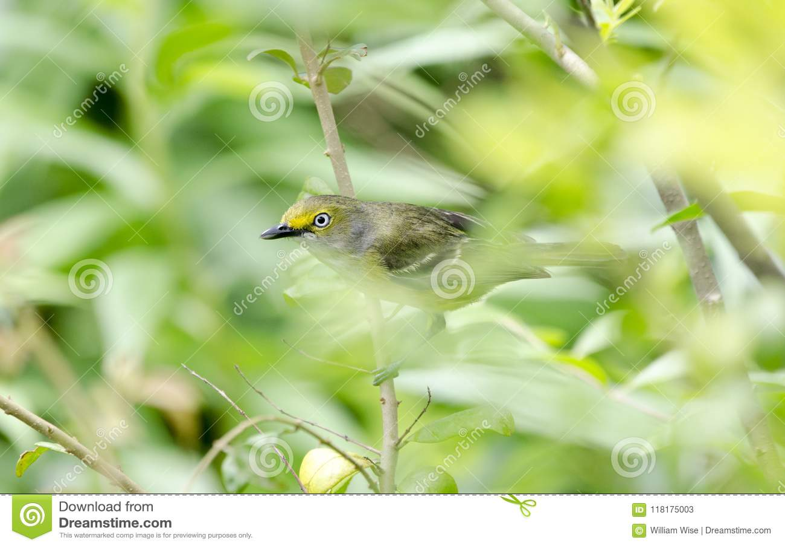 Oiseau chanteur aux yeux blancs de viréo chantant en Bradford Pear Tree, la Géorgie Etats-Unis