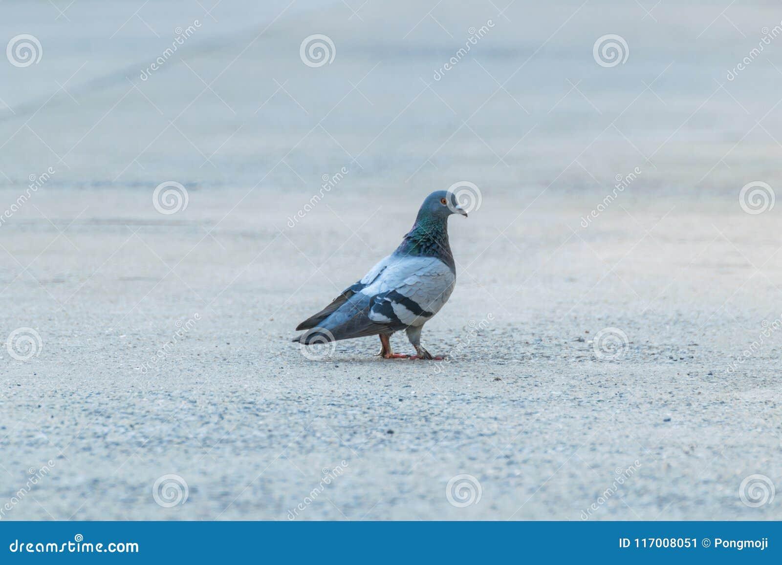 Oiseau (colombe, pigeon ou désambiguisation) dans une ville