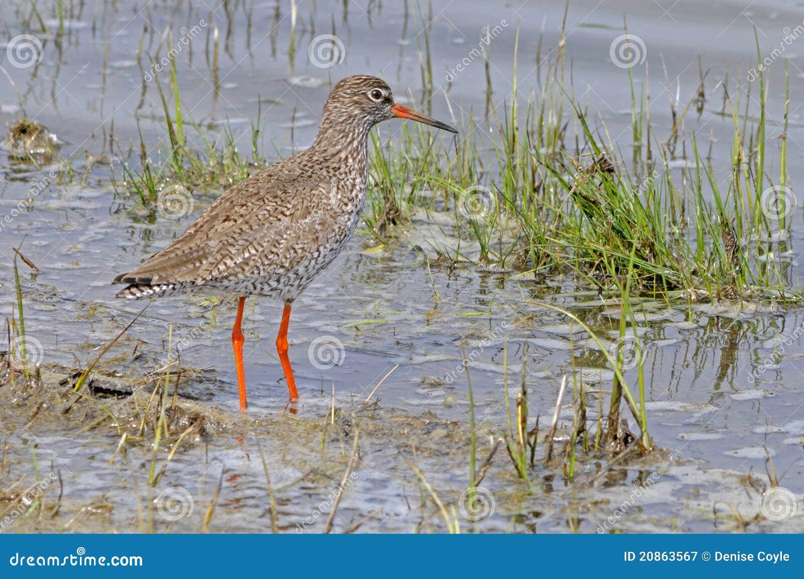 oiseau commun de chevalier gambette photographie stock