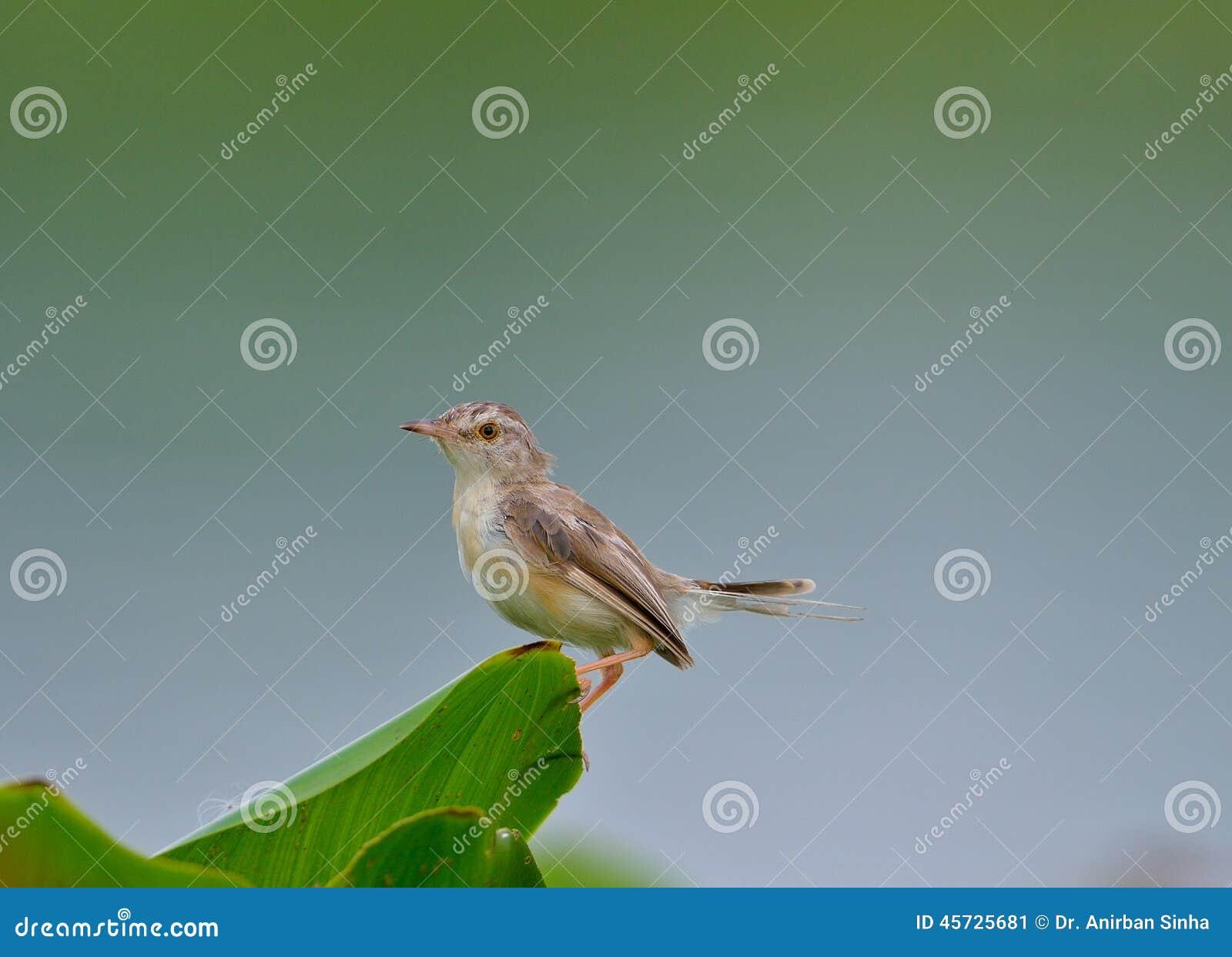 Oiseau commun de tailleur sutorius d 39 orthotomus photo for Oiseau commun