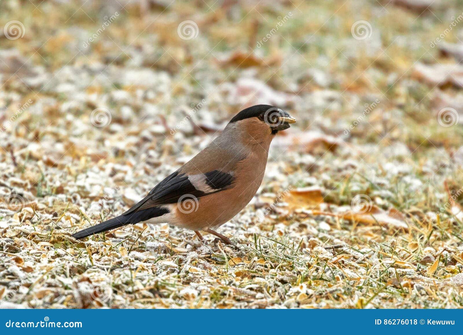 Oiseau commun eurasien femelle de bouvreuil mangeant la for Oiseau commun