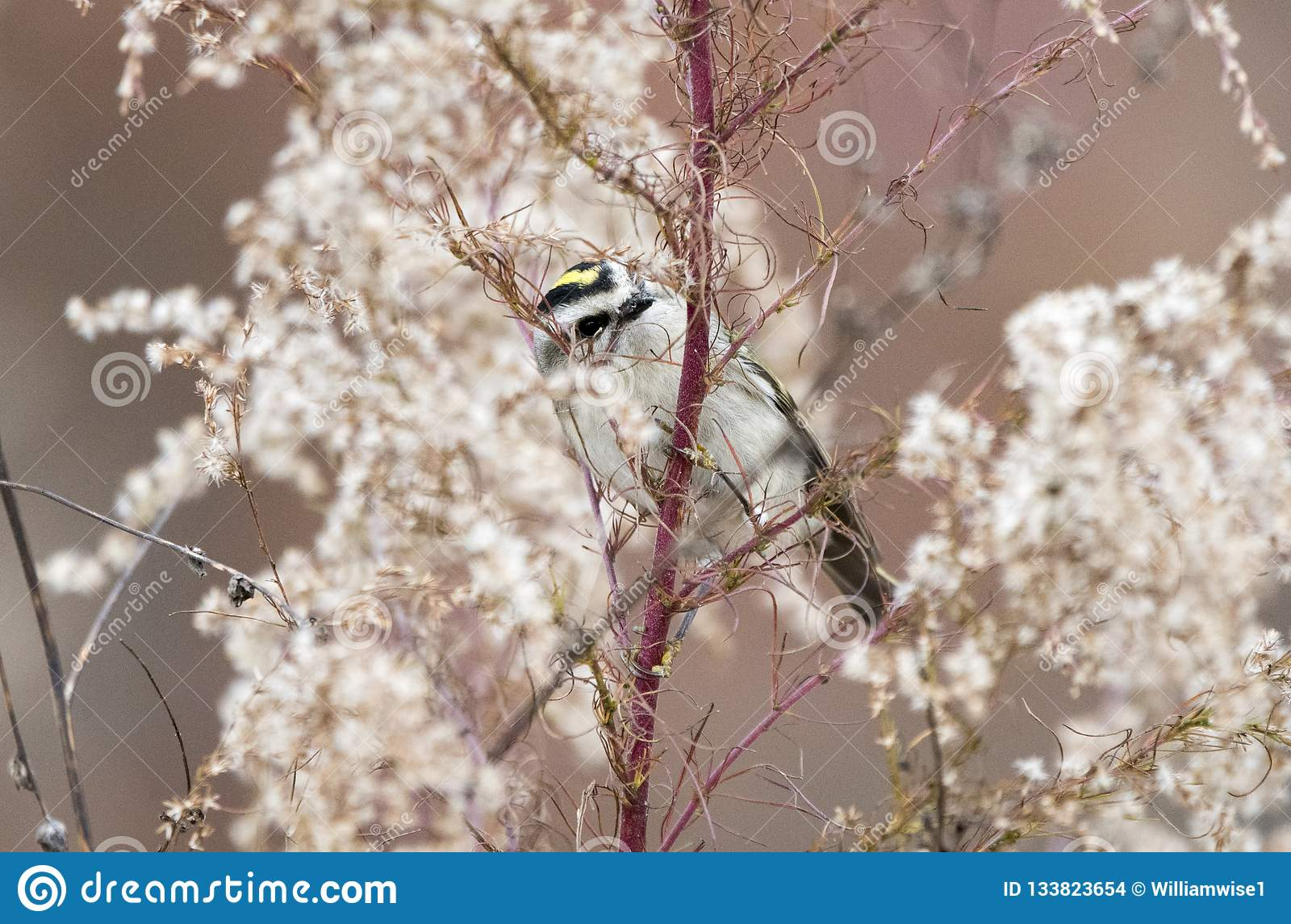 Oiseau couronné d or de Kinglet en hiver, la Géorgie Etats-Unis
