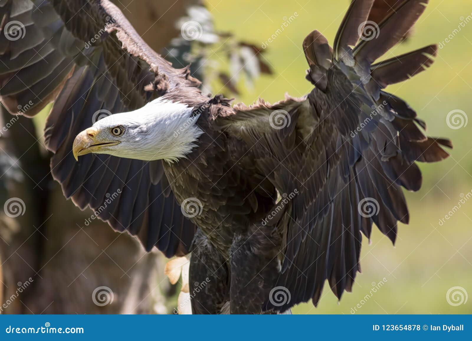 Oiseau d aigle chauve de proie américain puissant Predato animal fort