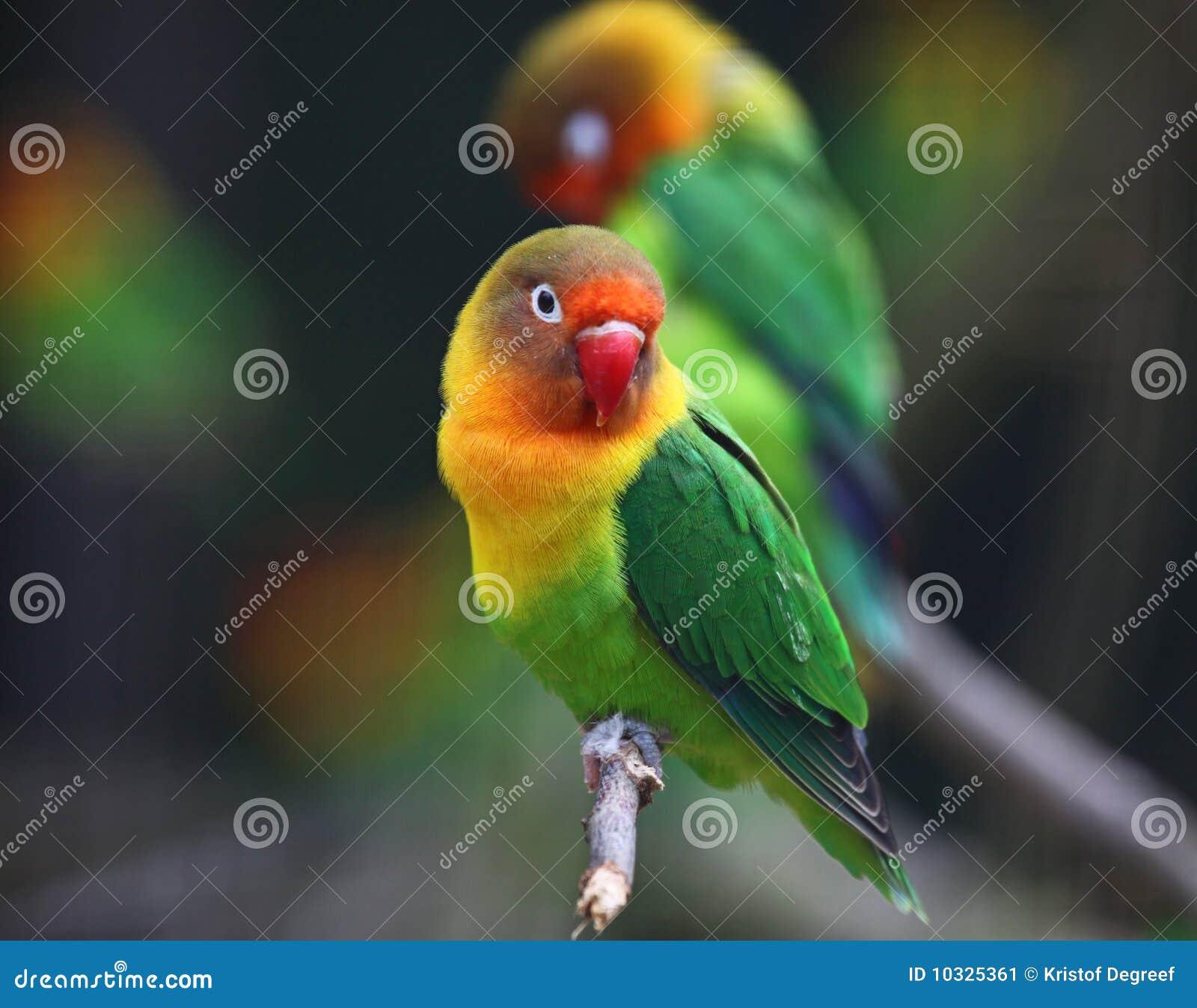 Oiseau d amour