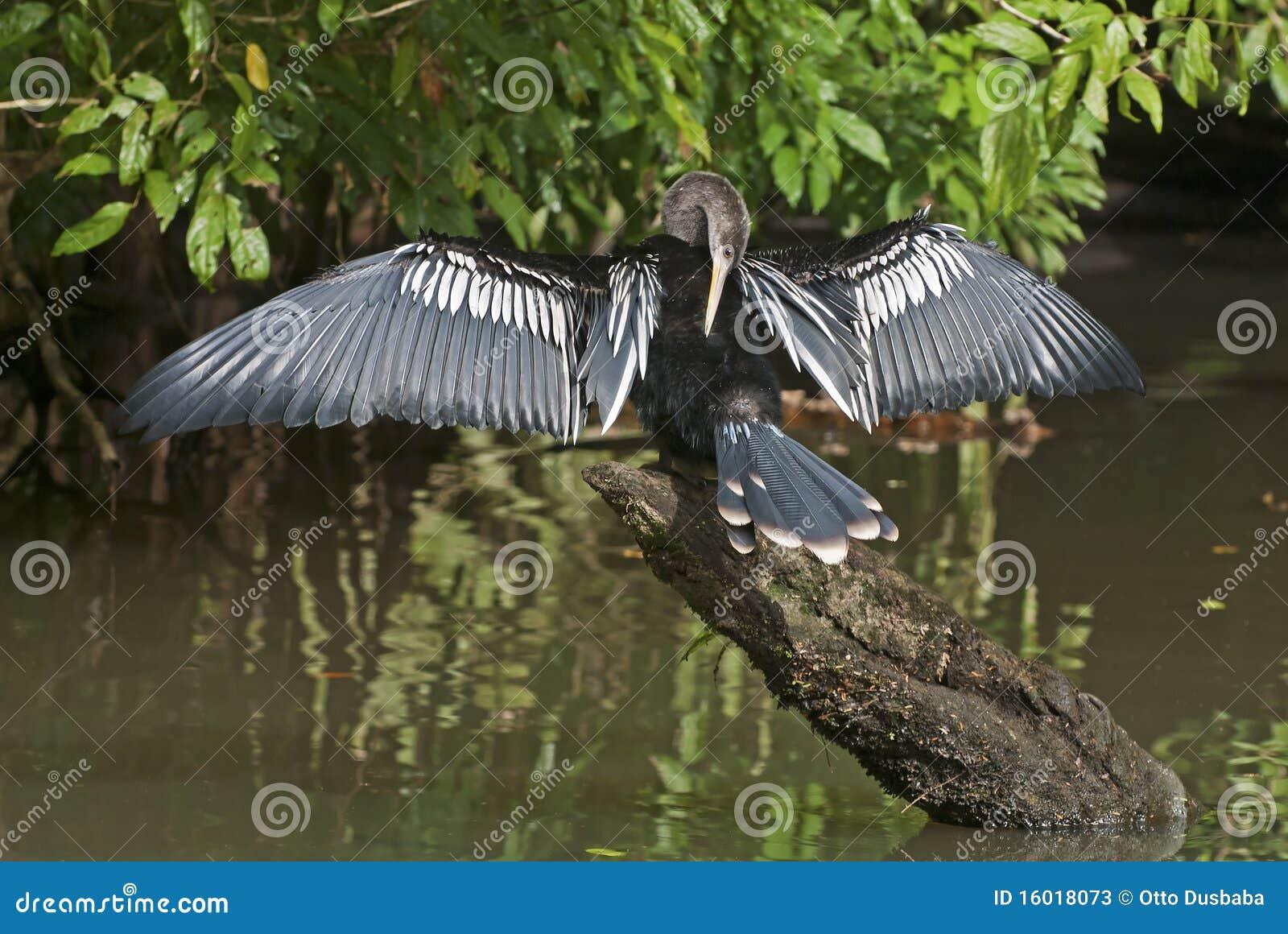 Oiseau d eau d Anhinga séchant son plumage