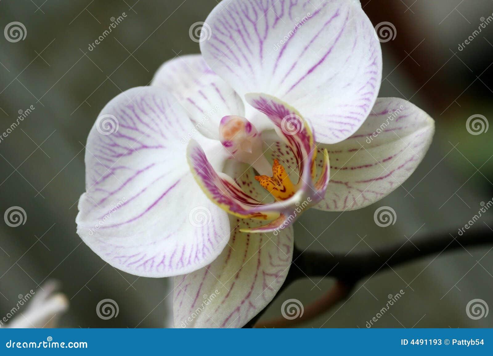 orchidee oiseau