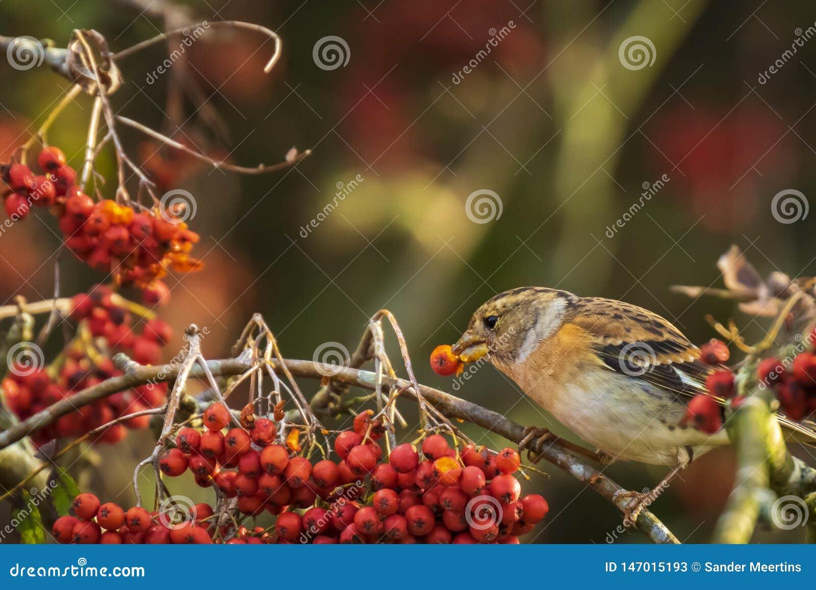 Oiseau de Brambling, montifringilla de Fringilla, dans les baies de alimentation de plumage d hiver