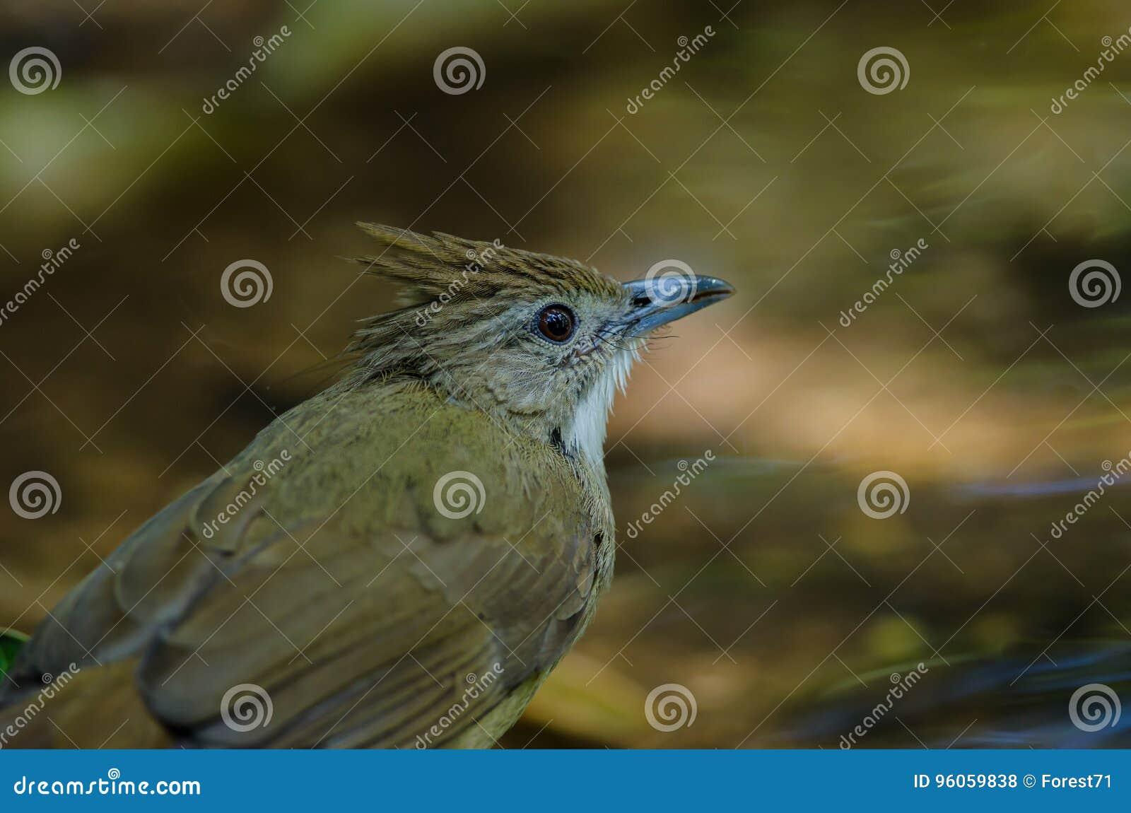 Oiseau de Bulbul d Ochraceous et x28 ; Ochraceus& x29 d Alophoixus ;