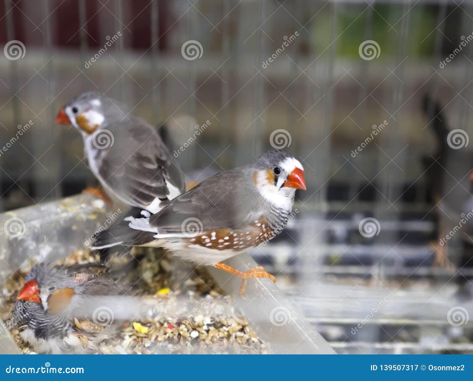 Oiseau de cage de famille d Estrildidae de guttata de Taeniopygia sur le magasin de bêtes