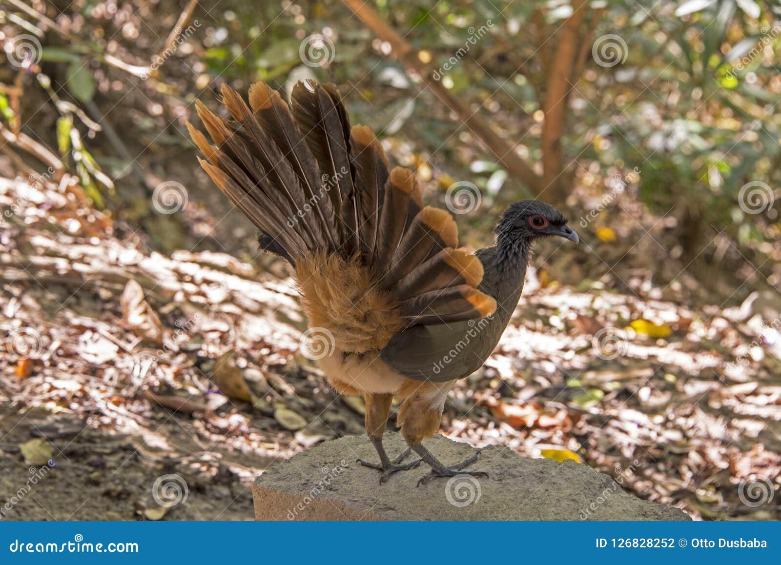 Oiseau de Chachalaca avec la queue éventée