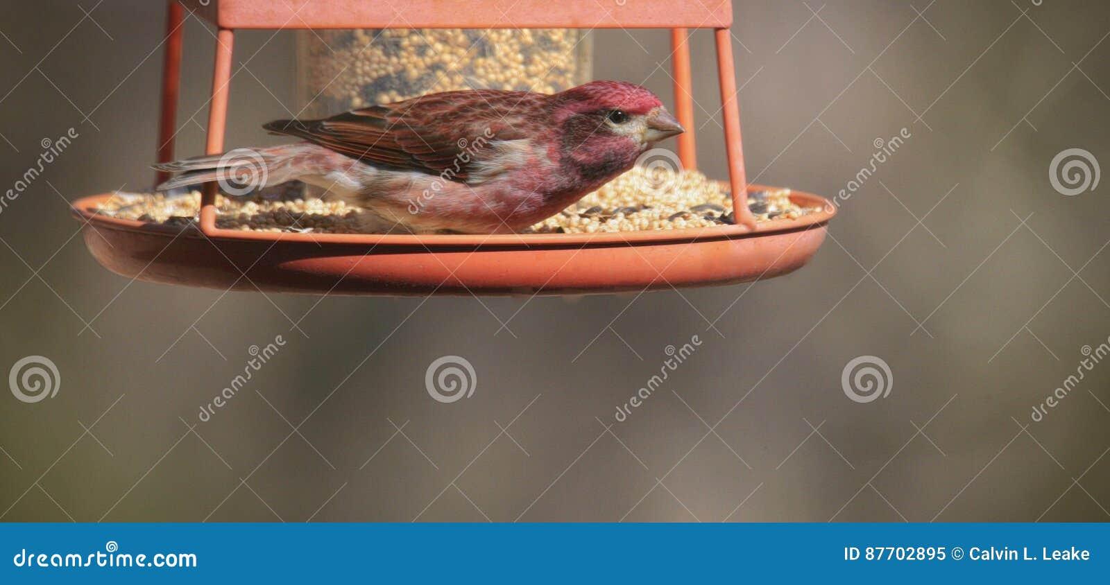 Oiseau de chanson de Tanager d été