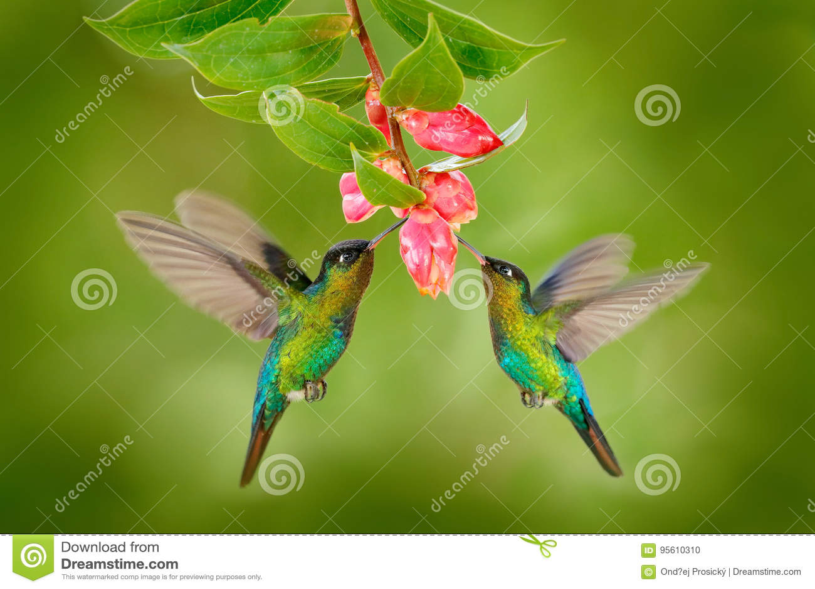 Oiseau de deux colibris avec la fleur rose colibri Ardent-throated de colibris, volant à côté de la belle fleur de fleur, Savegre