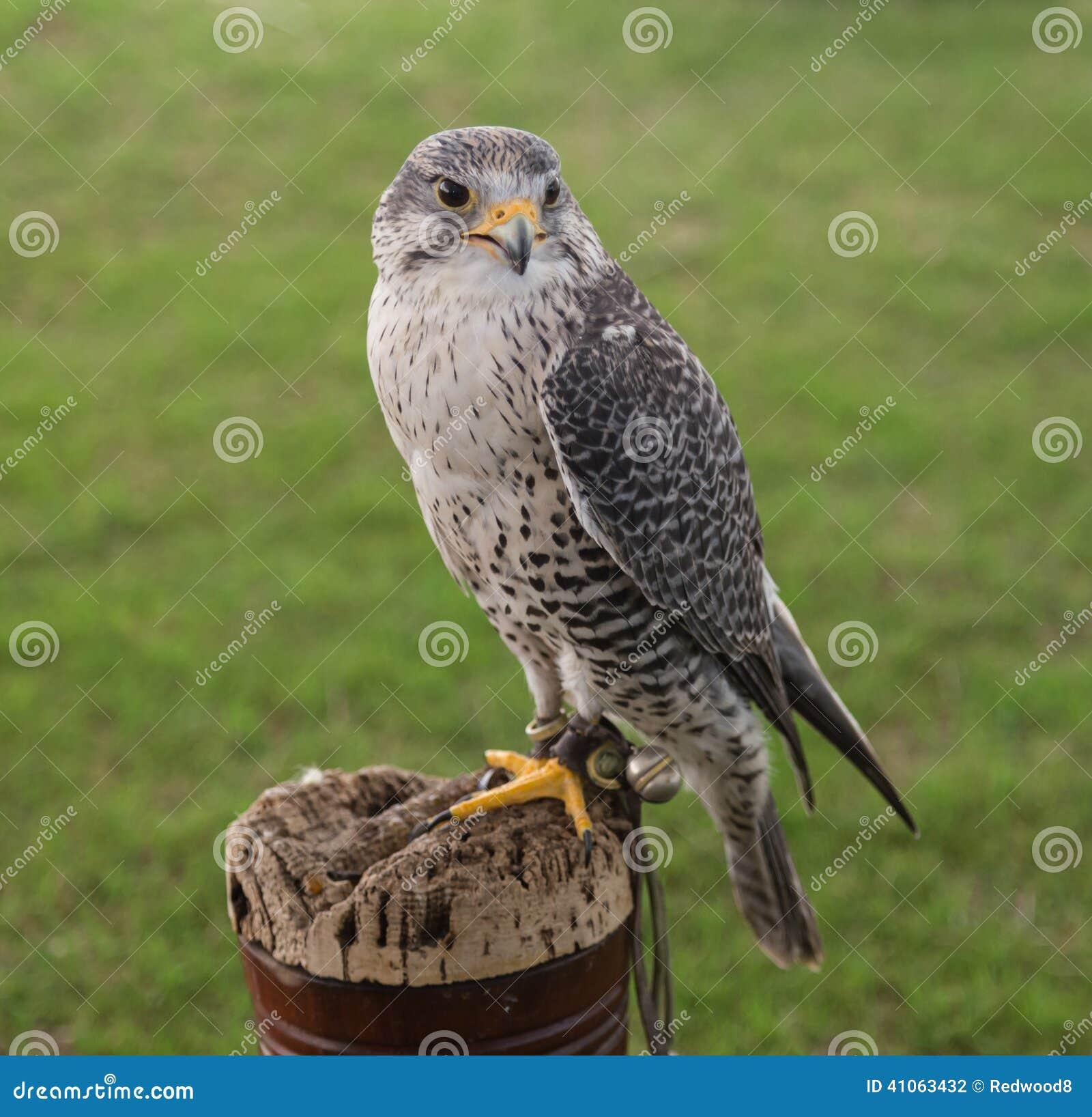 Oiseau de fauconnerie de proie