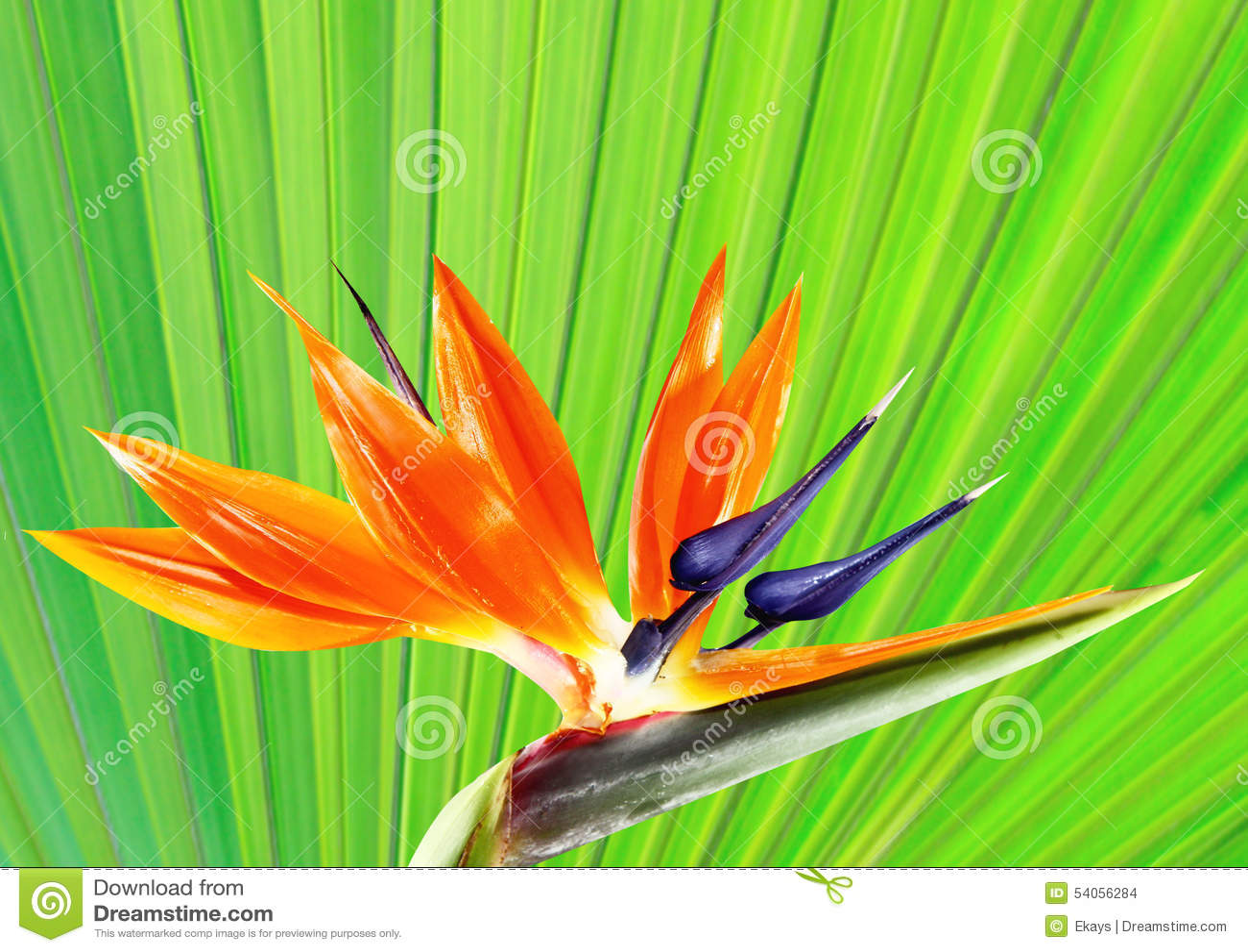 oiseau de fleur de paradis avec le fond en feuille de palmier photo stock image 54056284. Black Bedroom Furniture Sets. Home Design Ideas