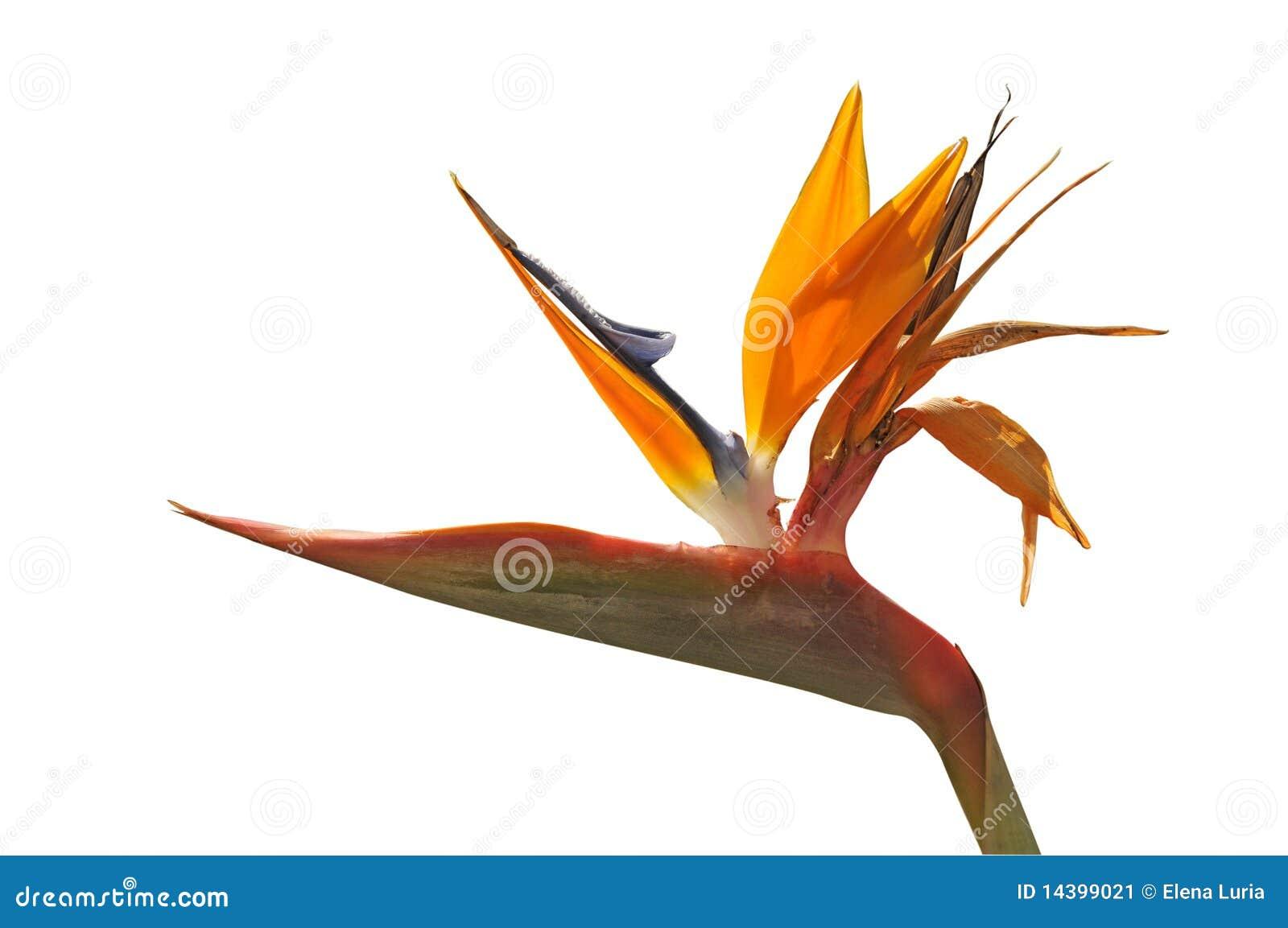 oiseau de fleur du paradis image stock image 14399021. Black Bedroom Furniture Sets. Home Design Ideas