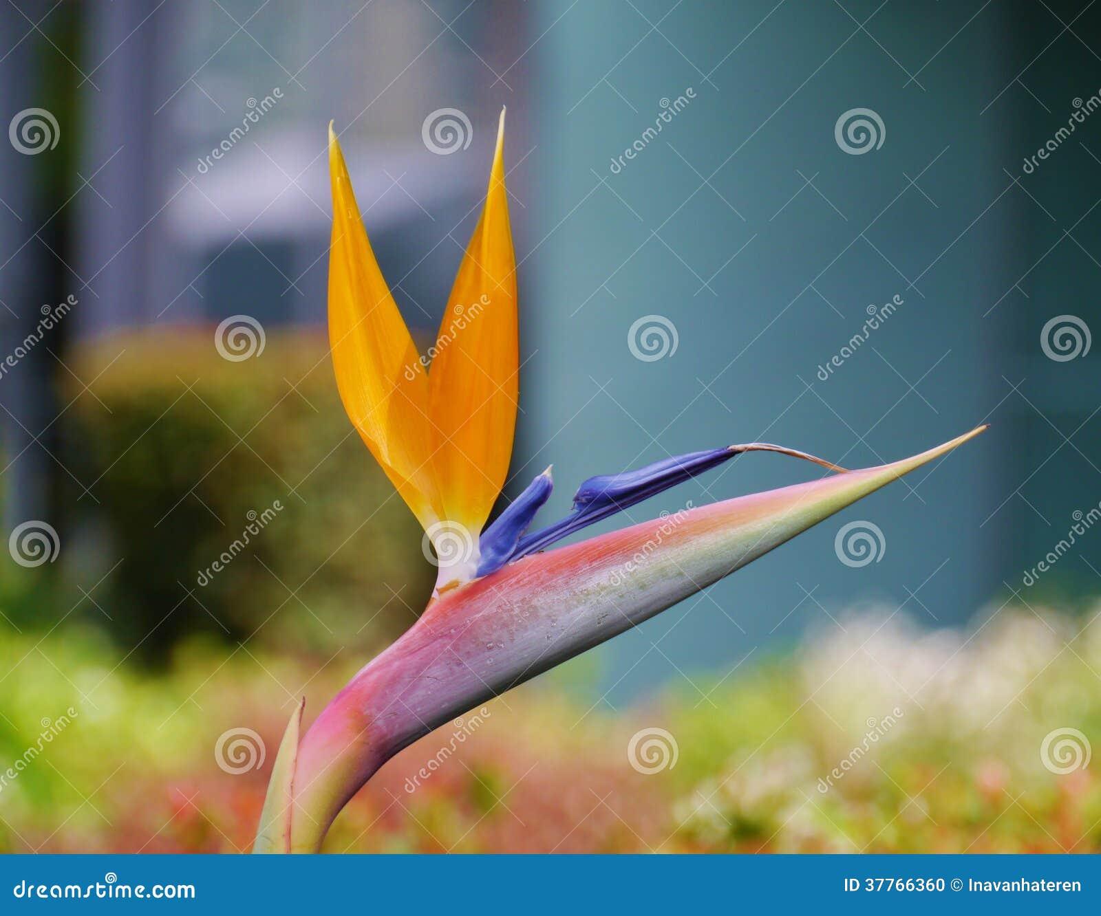 oiseau de floraison de fleur de paradis photo stock. Black Bedroom Furniture Sets. Home Design Ideas