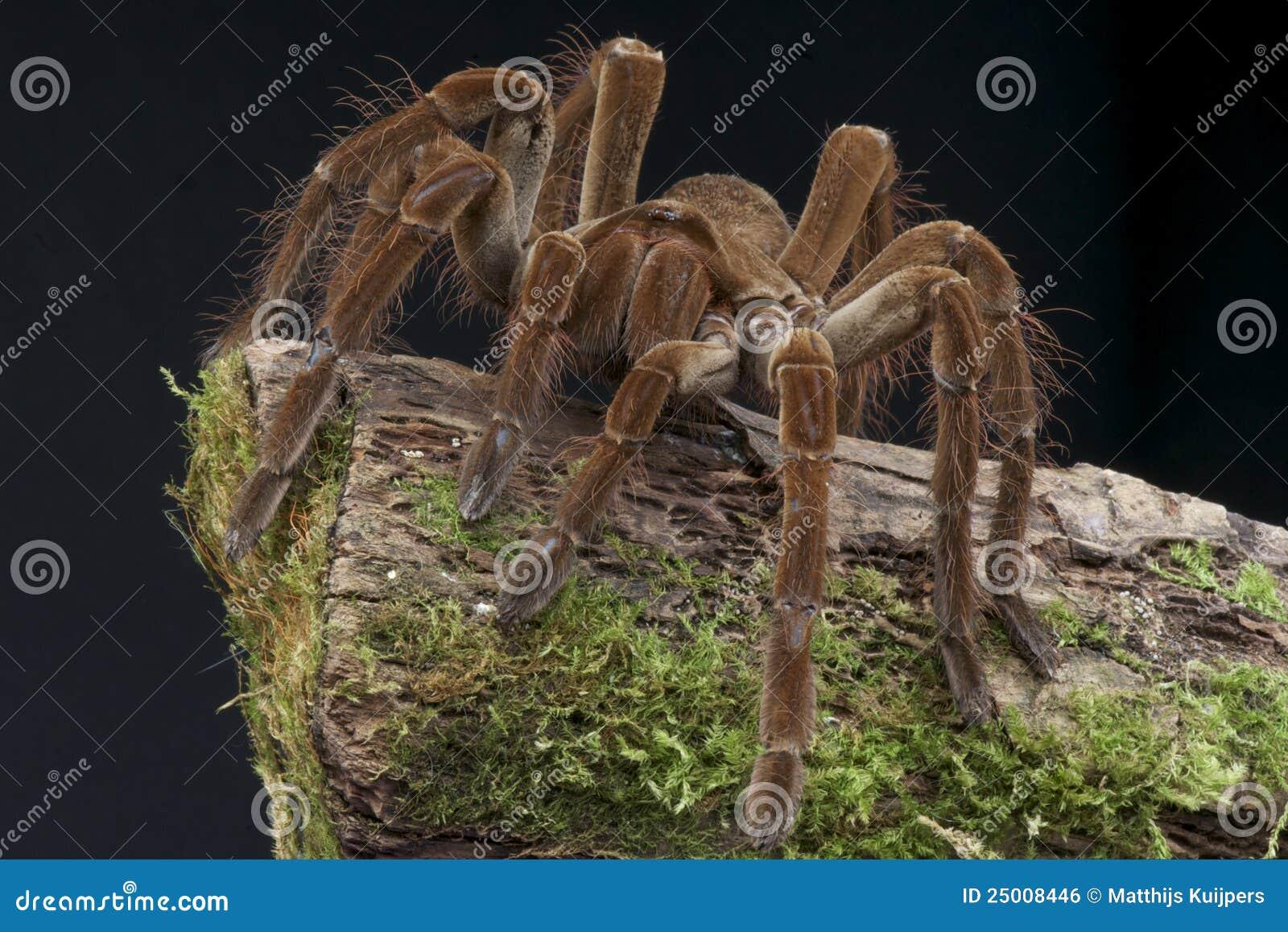 Oiseau de Goliath mangeant l araignée