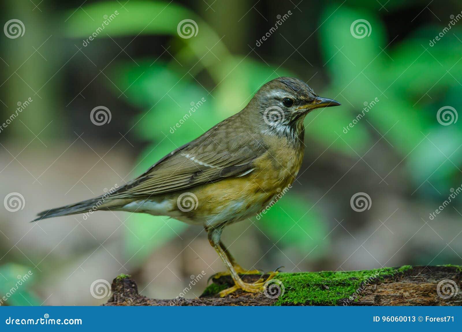 Oiseau de grive d Eyebrowed et x28 ; Obscures& x29 de Turdus ;