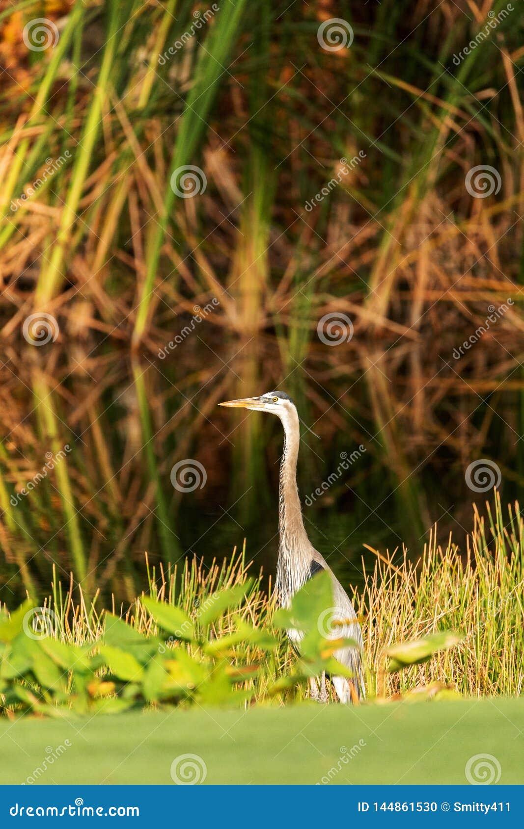 Oiseau de h?ron de grand bleu, herodias d Ardea, dans le sauvage, forageant dans un marais chez le Fred C babcock