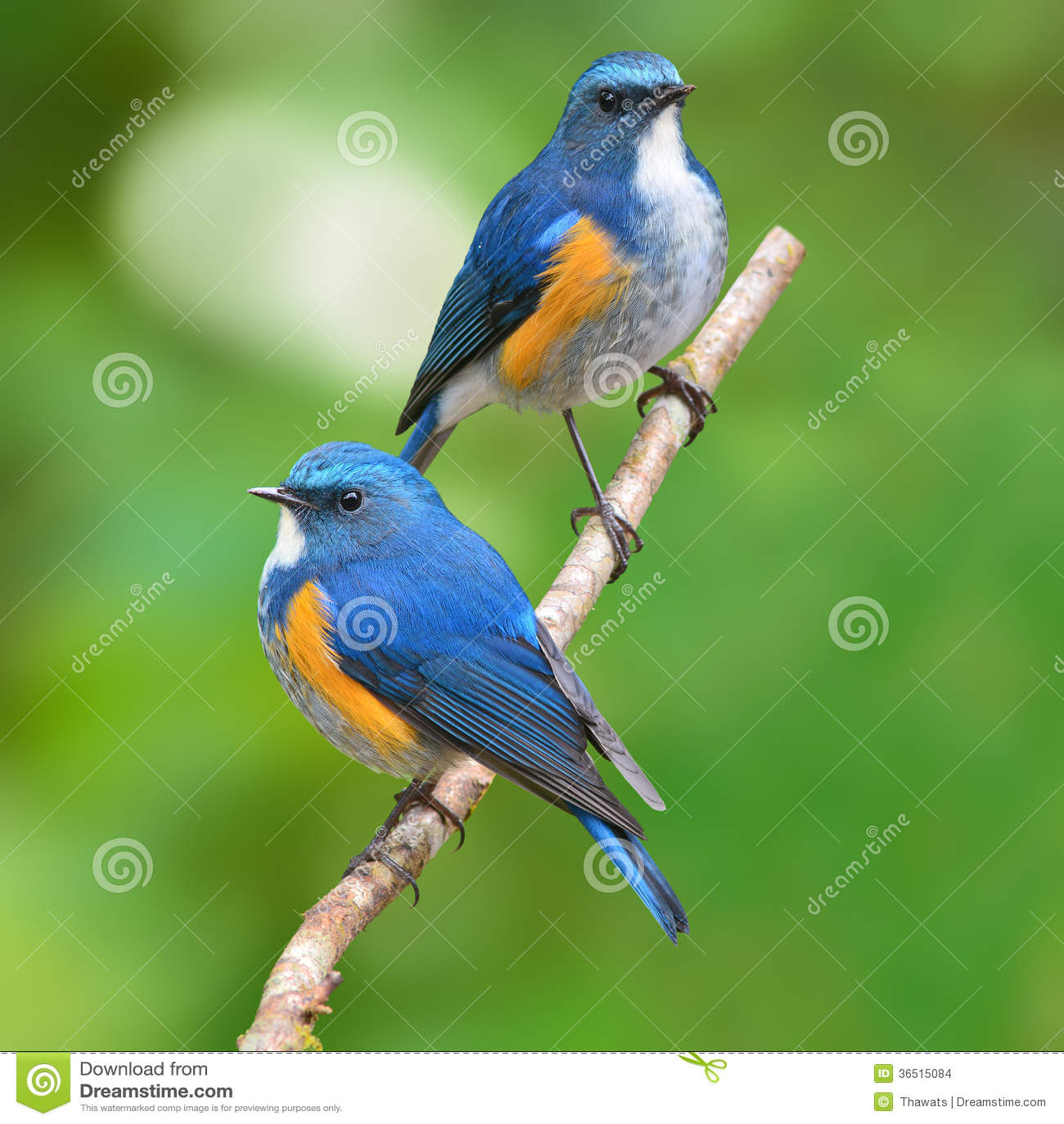 Oiseau de l Himalaya de Bluetail