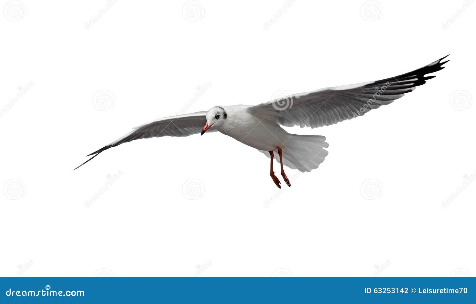 Oiseau de mouette de vol d isolement sur le blanc